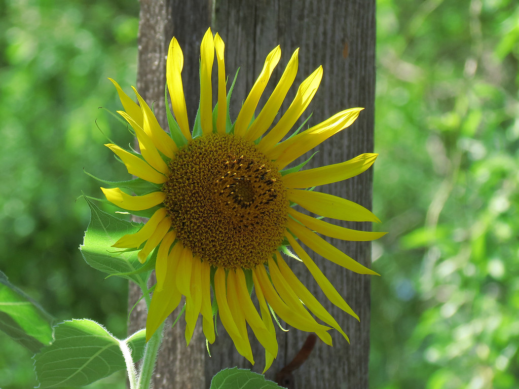 I don't want to make too much of this, but I am fairly certain<br /> that I heard this sunflower praying for rain today.
