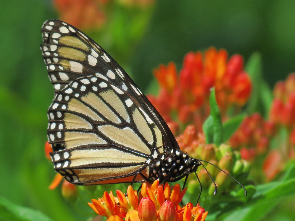 Monarch butterfly on the asclepias.