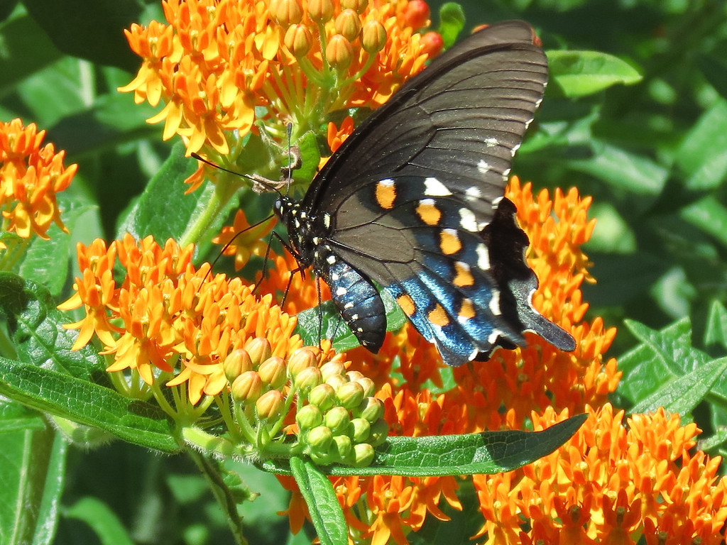 Black swallowtail butterfly.<br /> This was a very windy day and it fluttered its wings constantly.
