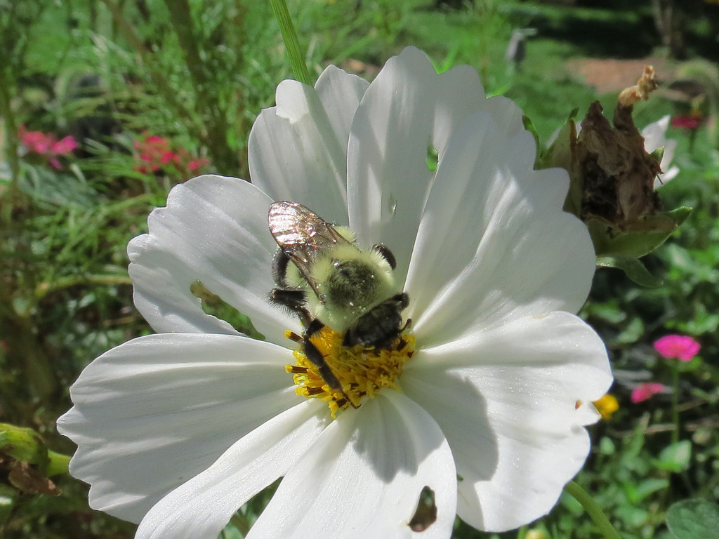 A bumble bee on the white Cosmos.