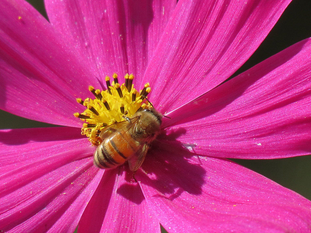 Pink Cosmos with a Honeybee on a perfect day.