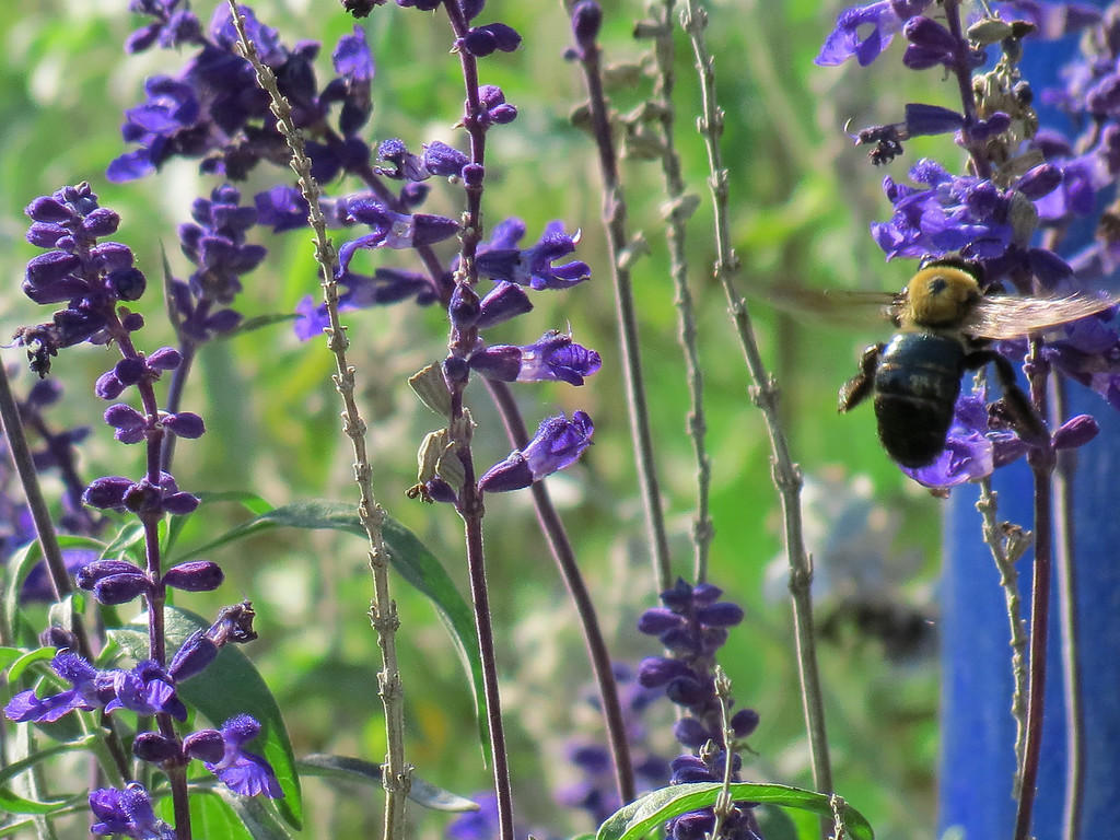 Blue Salvia and a bumble bee.<br /> I just liked all of this blue color in one place.