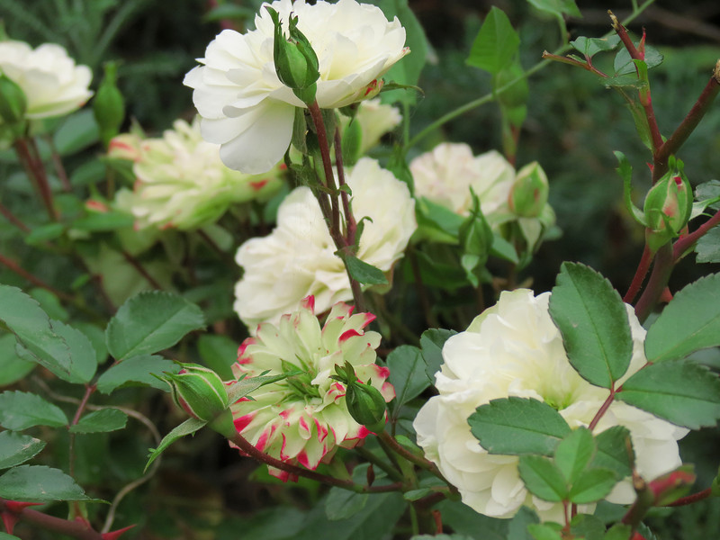 """Miniature rose """"Green Ice"""" near the front walkway.<br /> These start out as a little bit green in color and then <br /> become white, tinged with a medium red color."""