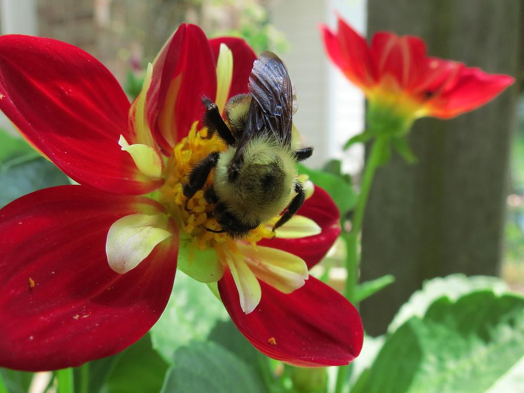 Bumblebee on Dahlia.