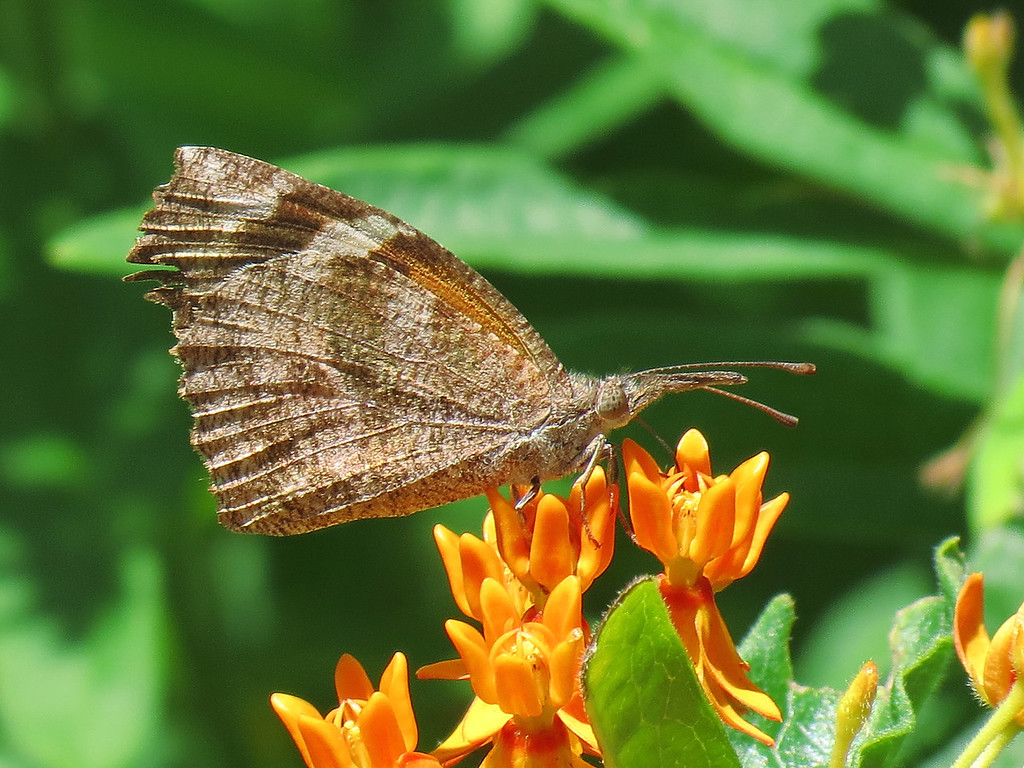 American Snout butterfly -- Libytheana carinenta