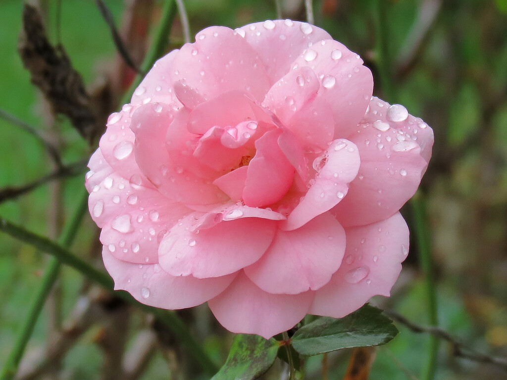 The pink rose in the October rain.