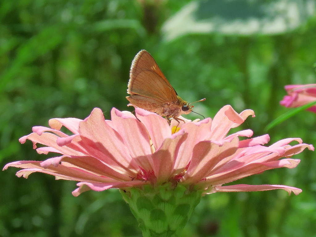 Little skipper butterfly on a nice pink zinnia.