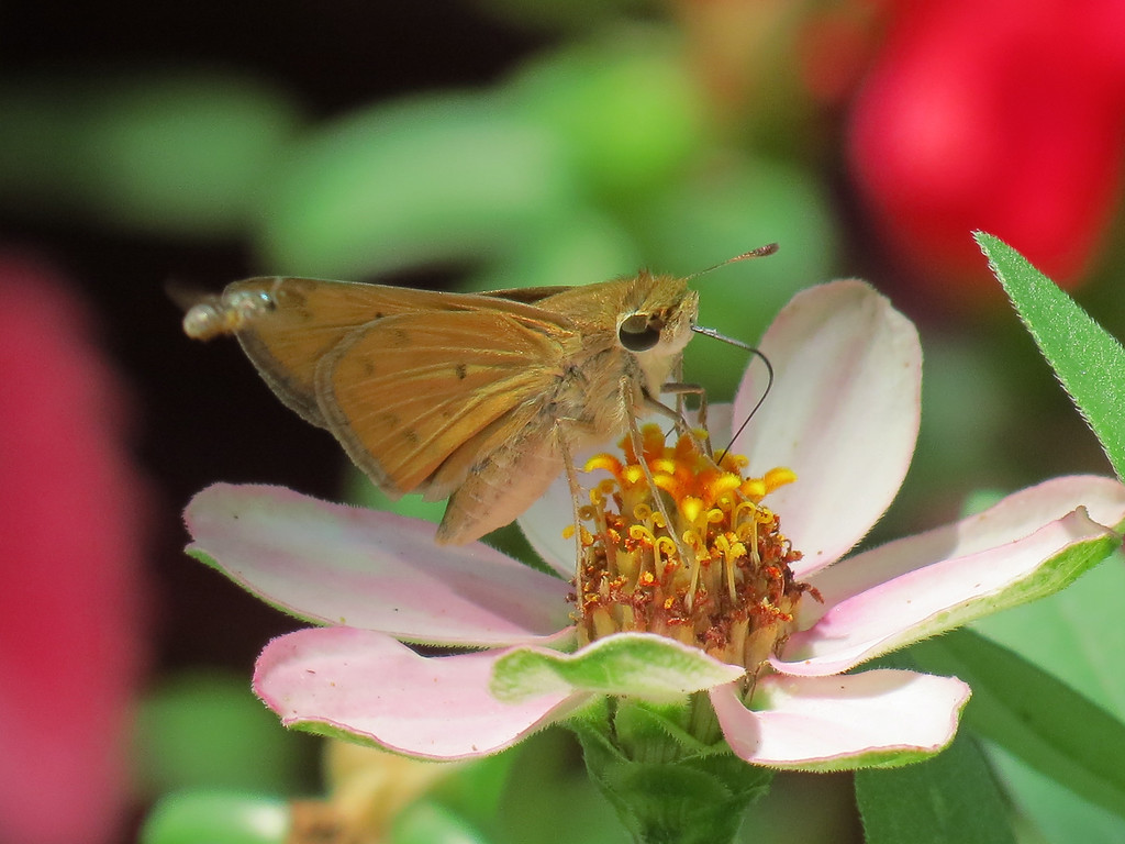 Skipper butterfly and a small opalescent companion bee hovering close by.<br /> From what I understand, one never goes anywhere without the other.