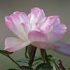 Rose on November 6.