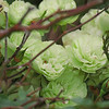 """Miniature rose """"Green Ice"""" when the blooms are green in color."""