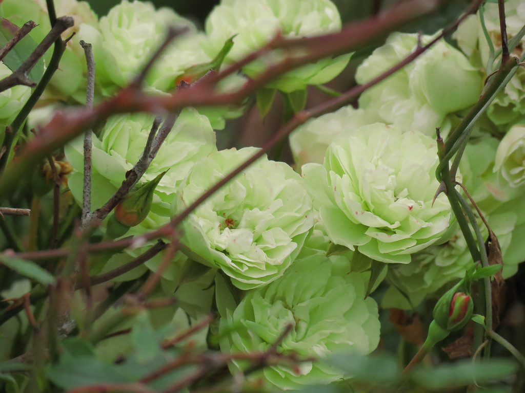 "Miniature rose ""Green Ice"" when the blooms are green in color."