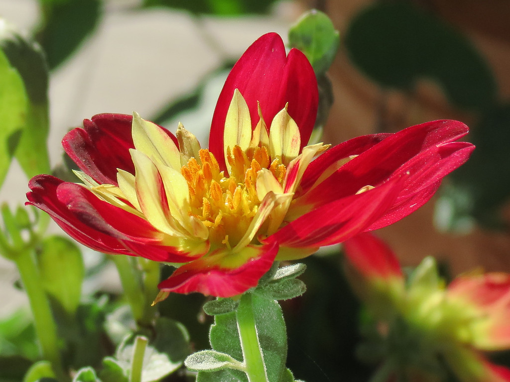 I think the small cream colored petals inside the large red ones<br /> are the thing that makes this Dahlia flower so appealing. After a<br /> freeze and some frost it is still hanging in there and blooming.
