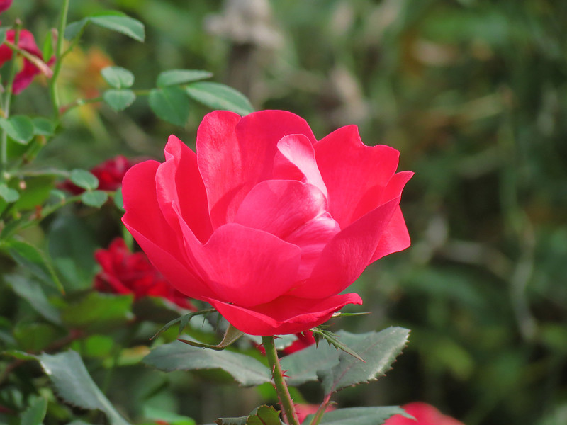 This red Knockout rose looked nice in the afternoon sun on October 31st.