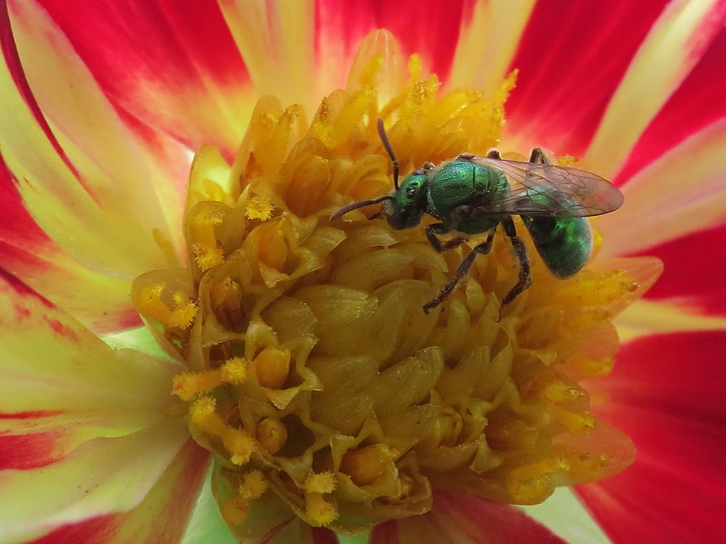 Bottle-green bee on the red and white dahlia.