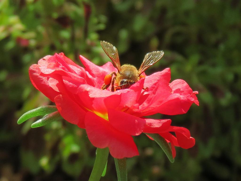 Honeybee on Red Portulaca.