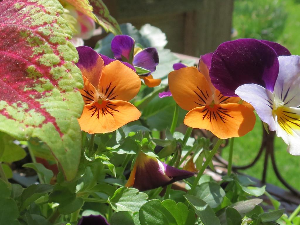 Some orange and purple violas with a coleus.