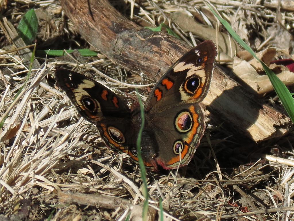 Buckeye Butterfly sunning itself in the backyard woods.