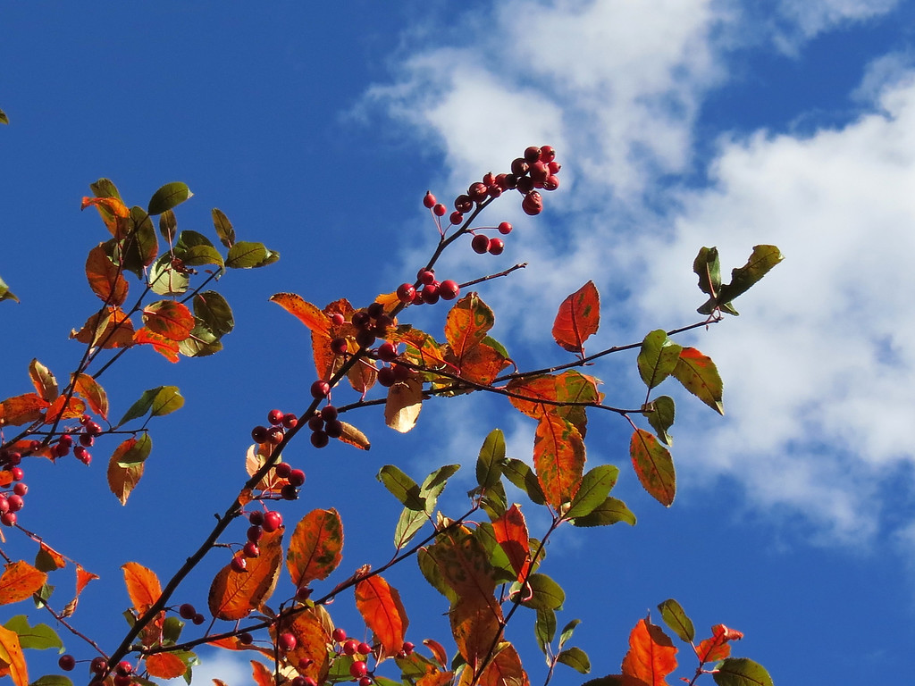 Crab Apple tree against the October sky.