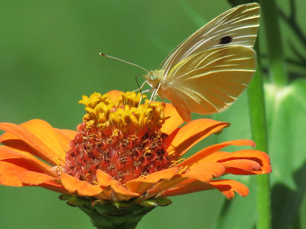 White and yellow butterfly on orange Zinnia.