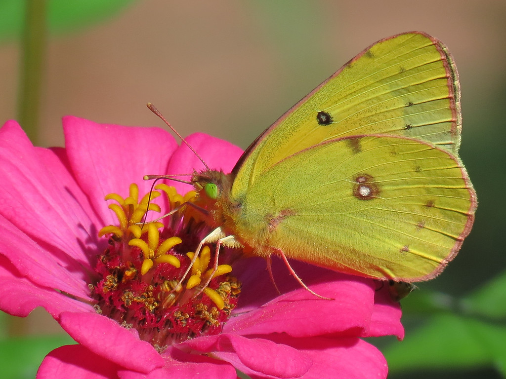 Yellow Butterfly with eyes that are green with envy.