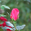 Rose bud at the front of the house.