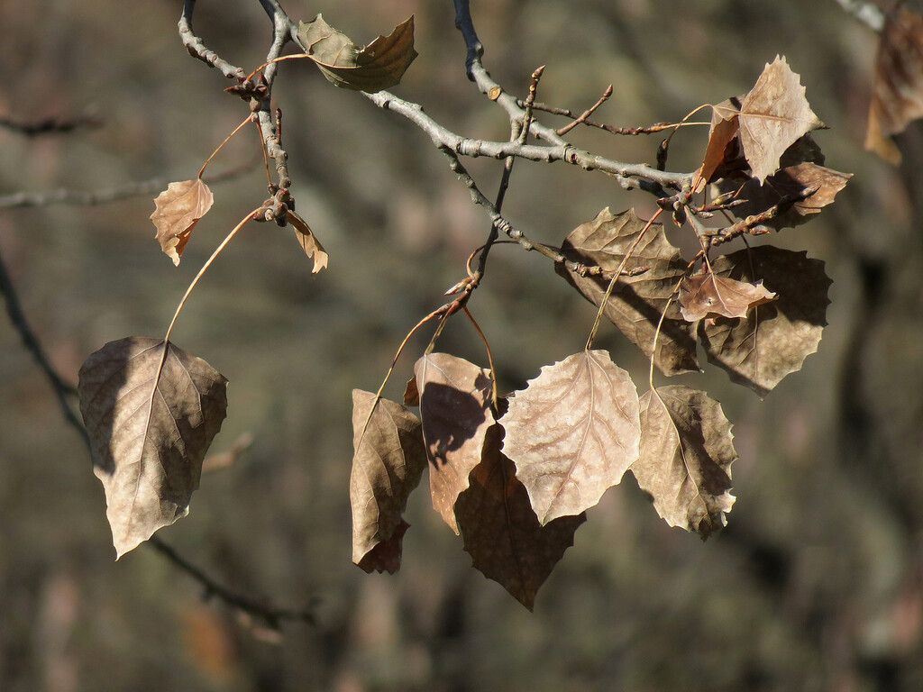 After a hard freeze for several nights, <br /> the yellow Aspen leaves turned completely brown.