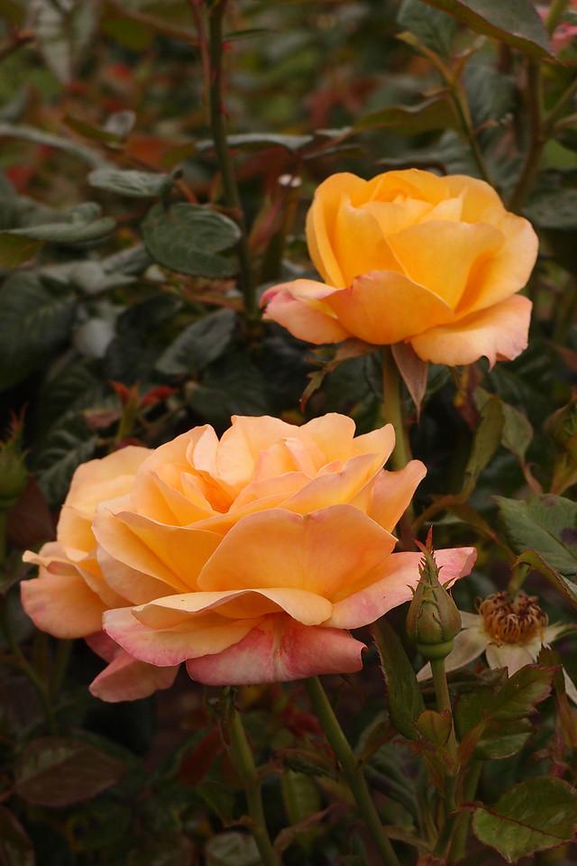 20121117_1025_7188 rose