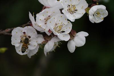 20120905_0747_3057 apricot blossom