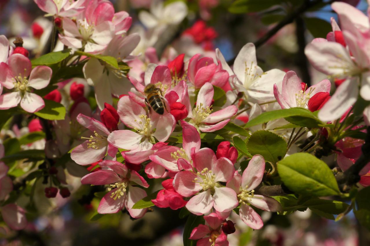 20120911_1700_3306 crabapple blossom