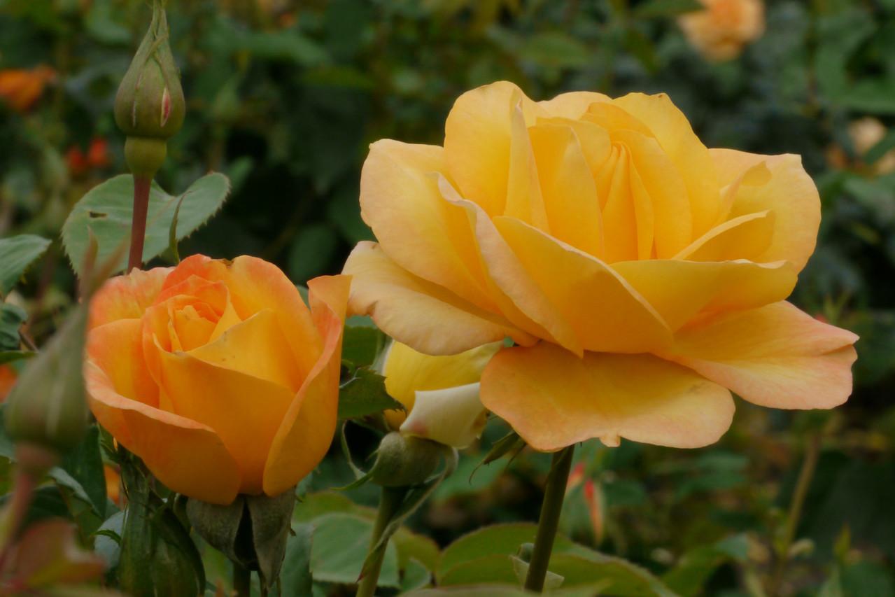 20121117_0956_4792 roses