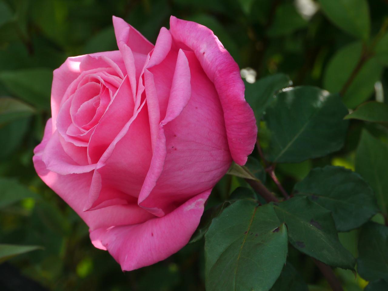 20121018_0829_4037 rose