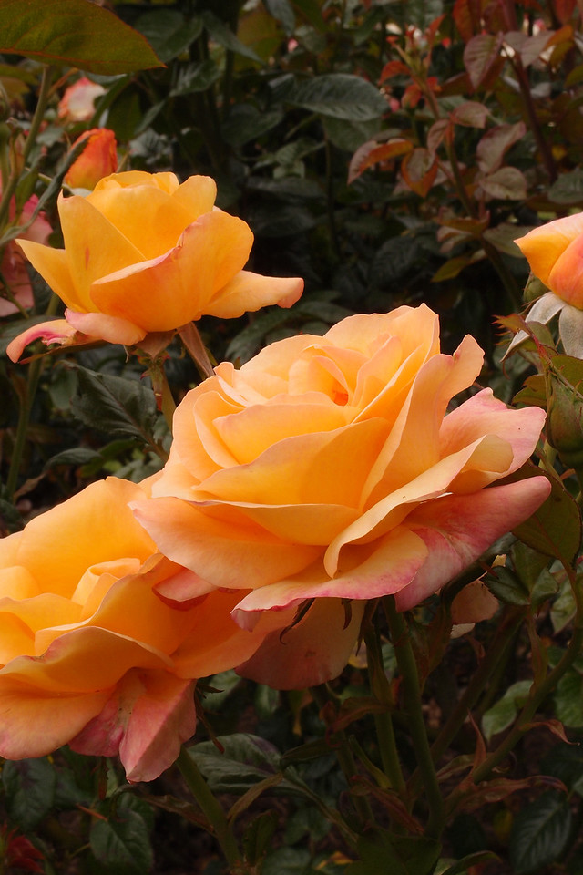 20121117_0936_7157 rose. State Rose Garden, Werribee