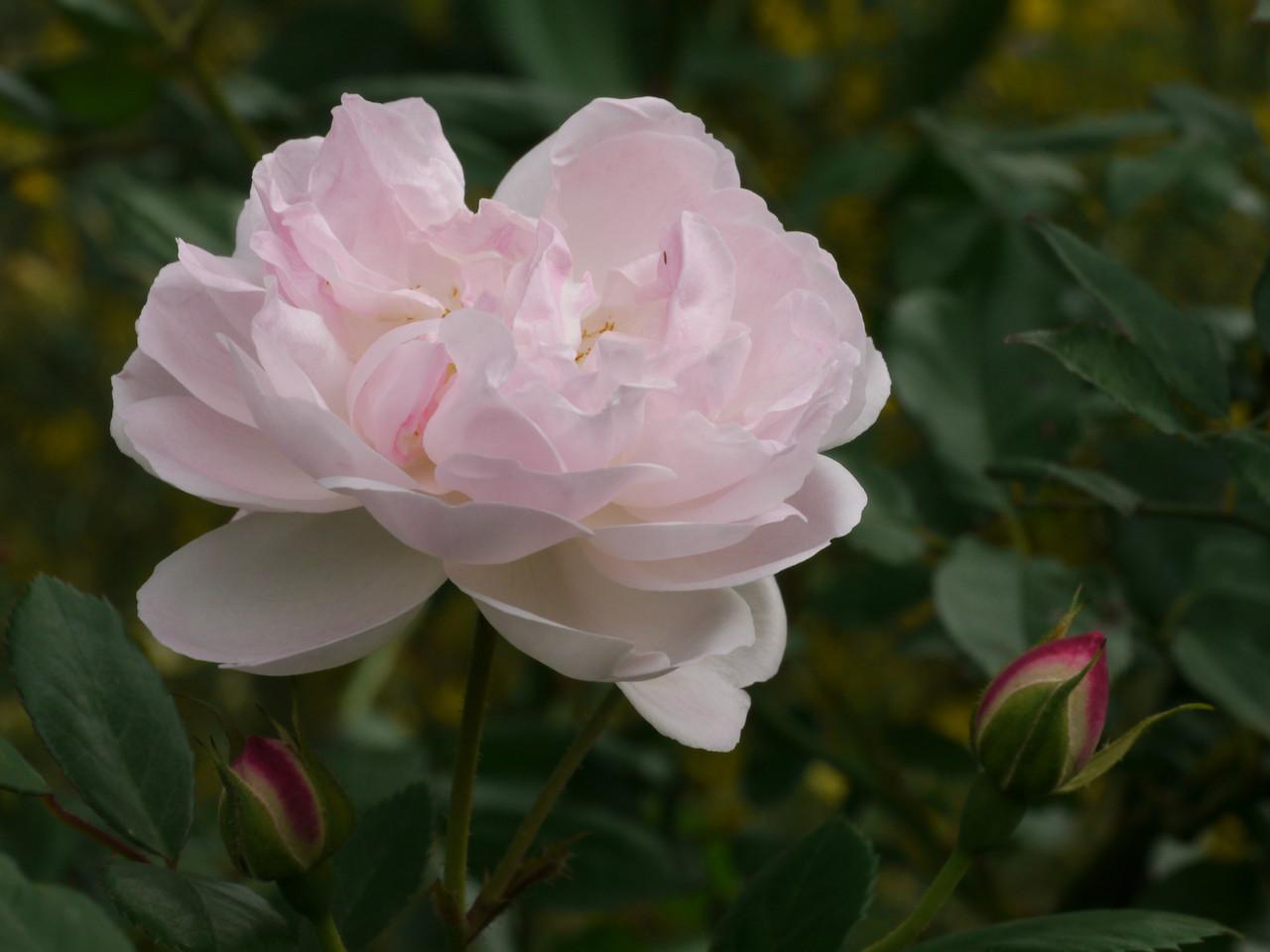 20121021_0823_4142 rose