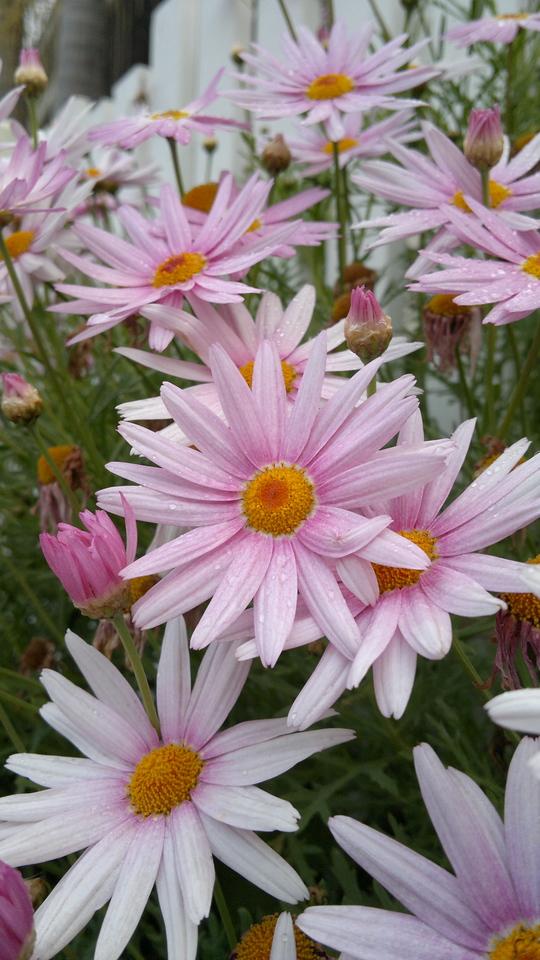 20120914_1723_087 daisies