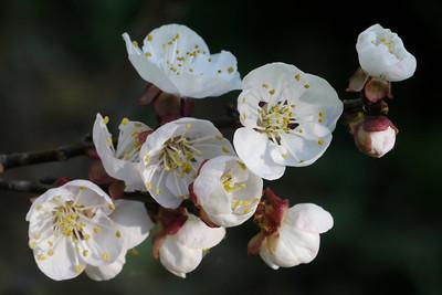 20120904_1127_3052 apricot blossom