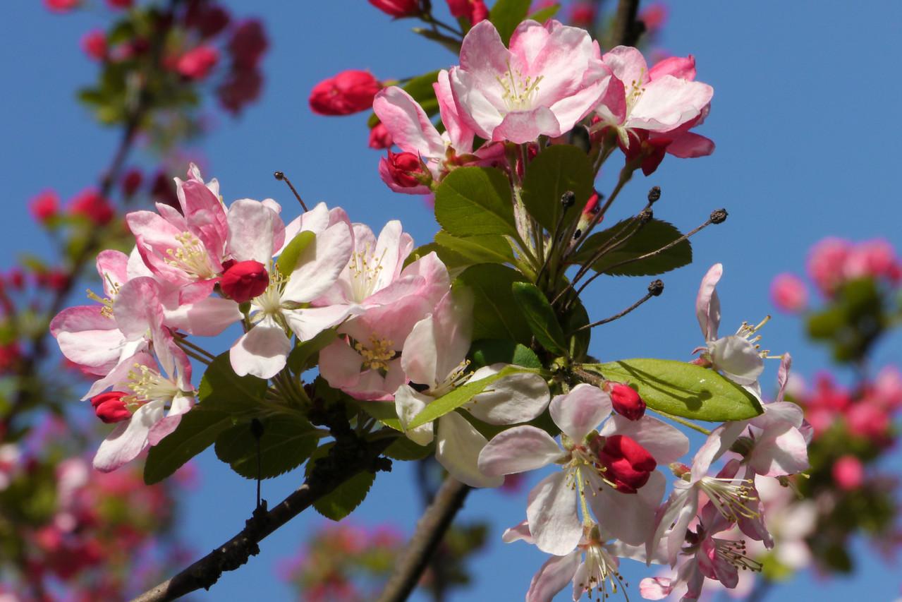 20120911_0820_3199 crabapple blossom