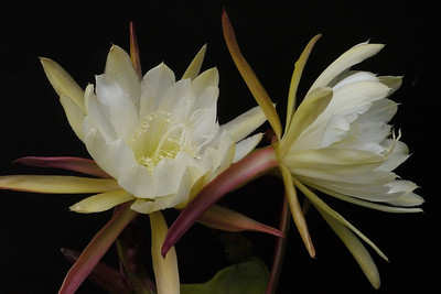 20121128_0731_5968 epiphyllum 昙花