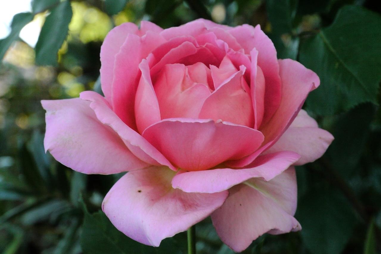 20121114_0719_4688 rose