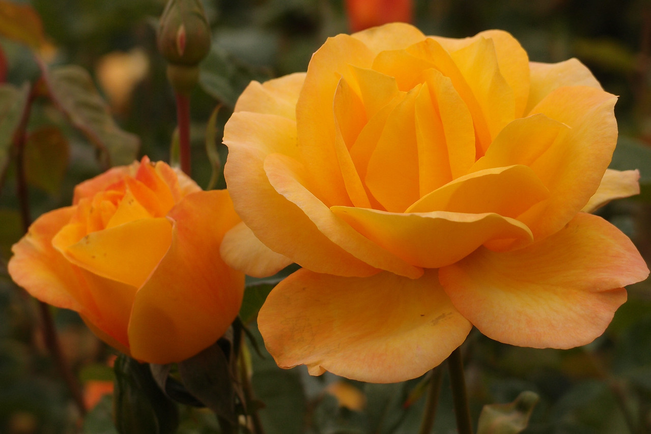 20121117_1033_7195 rose
