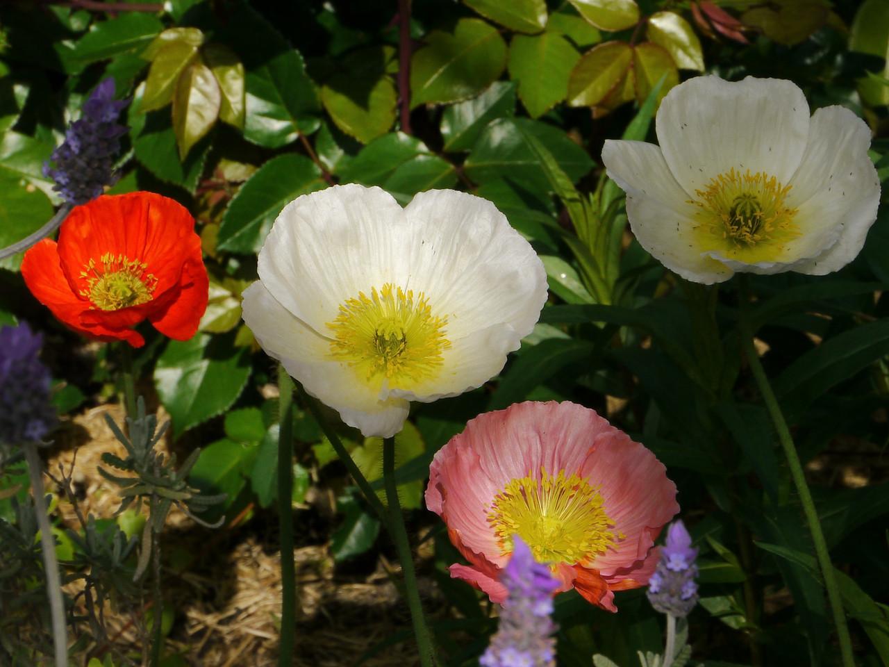 20121018_0900_4074 poppy