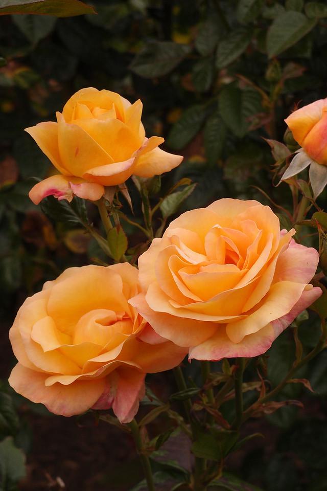 20121117_1026_7190 rose