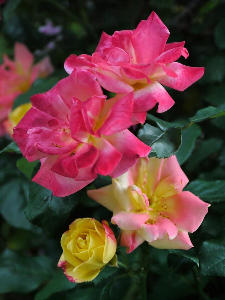 20121030_0530_4373 rose