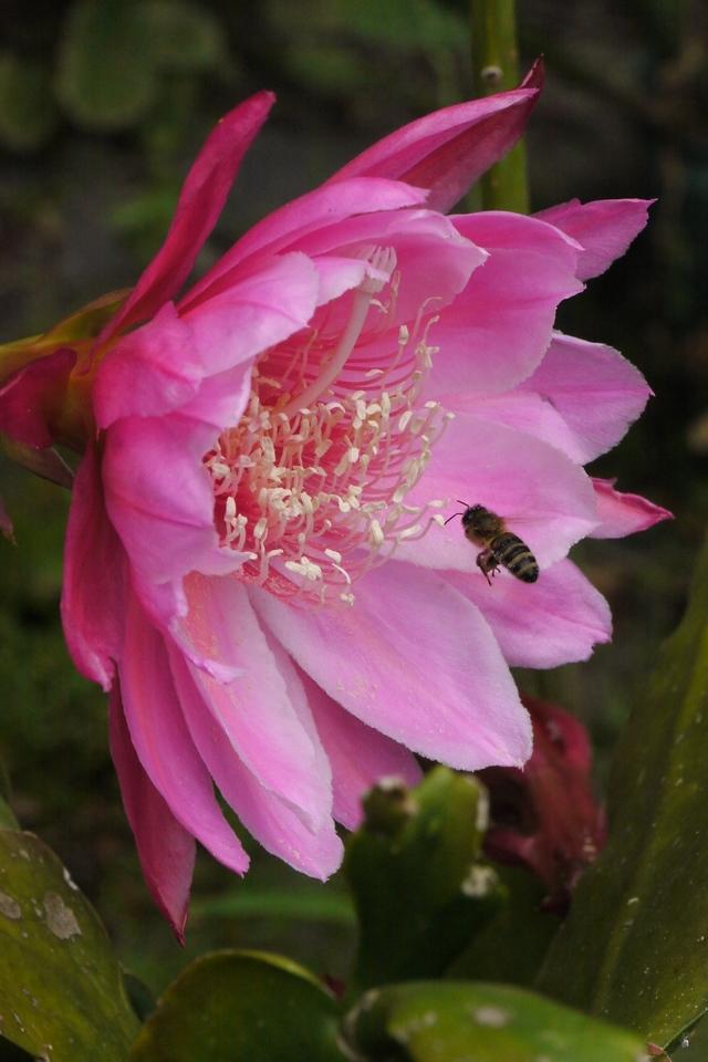 20121121_0809_5308  bee and epiphyllum 昙花