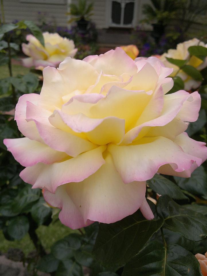 20121025_1001_001 rose