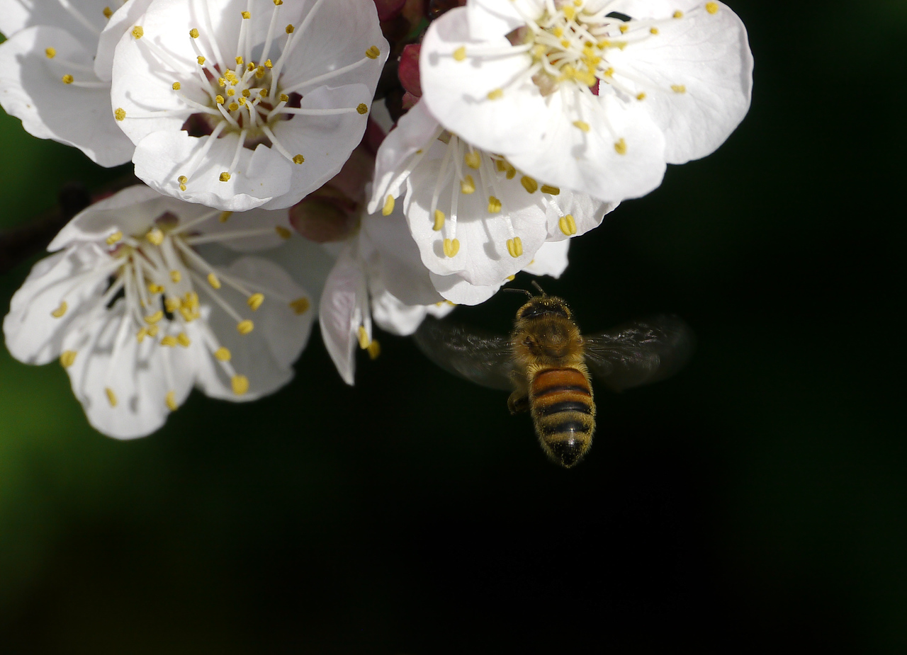 20120904_0953_2976 apricot blossom