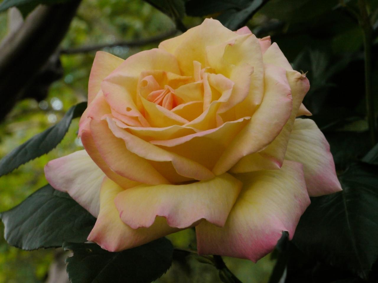 20121026_0647_4200 rose