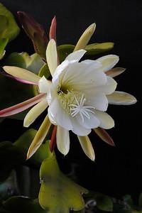 20121124_0624_5646 epiphyllum 昙花