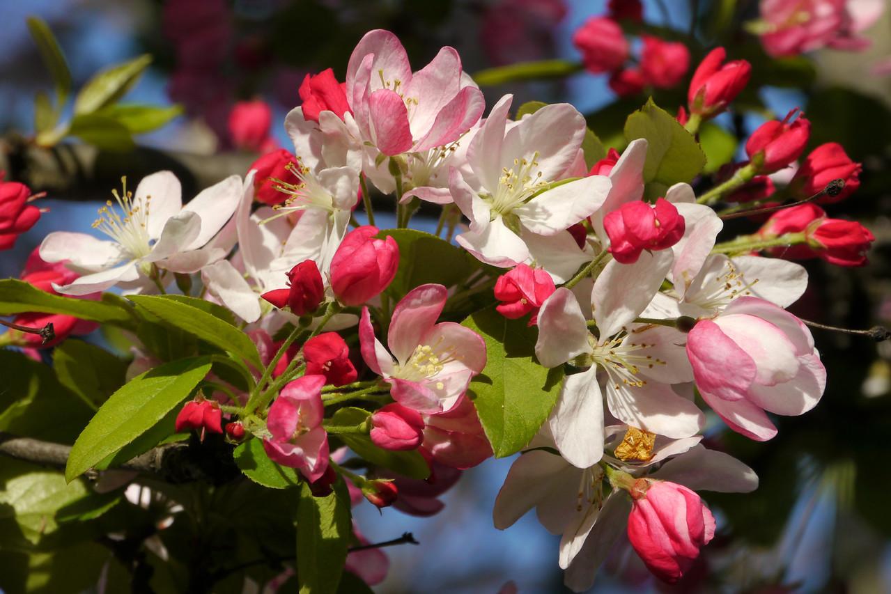 20120911_0800_3168 crabapple blossom