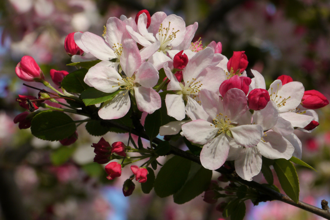 20120911_0754_3159 crabapple blossom