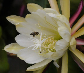 20121126_0711_5938 epiphyllum and bee